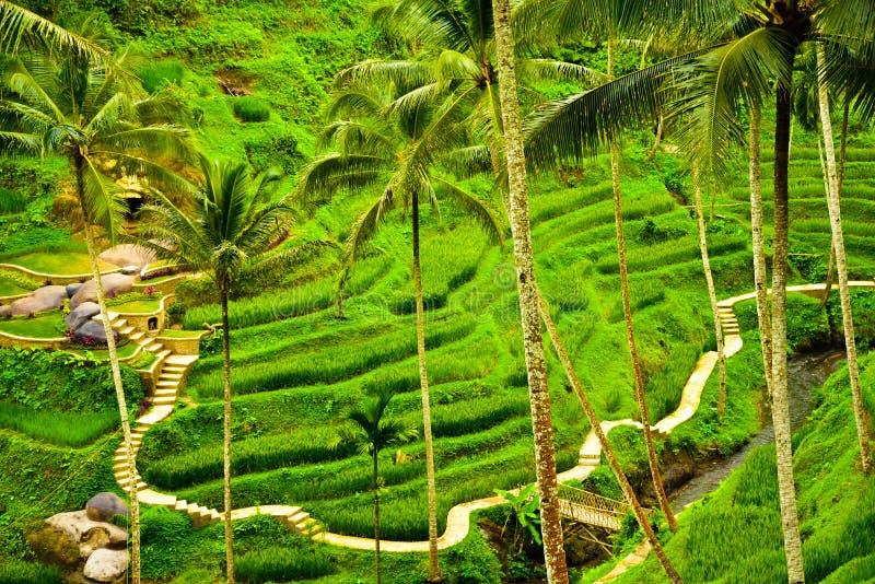 Widok ryżu tarasu pole w tropikalnej wyspie w Azja Wschodnia obraz stock