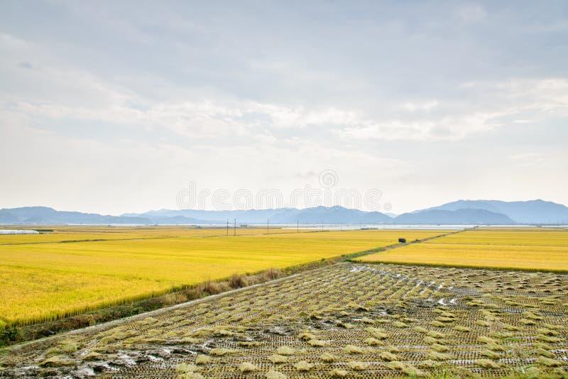 Widok ryżowej rośliny gospodarstwo rolne zdjęcie royalty free