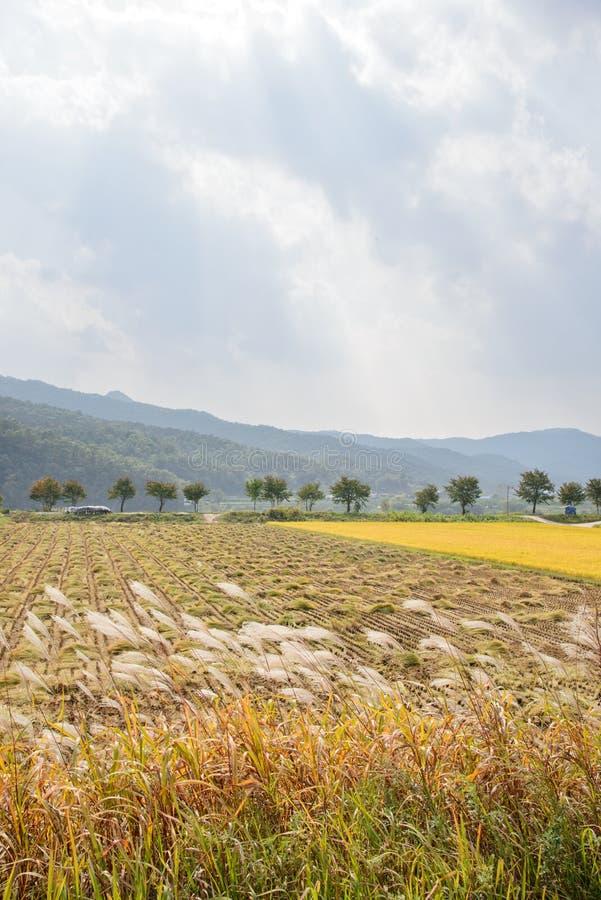 Widok ryżowej rośliny gospodarstwo rolne fotografia royalty free