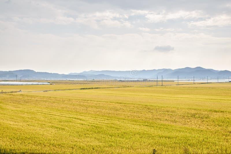 Widok ryżowej rośliny gospodarstwo rolne obraz stock