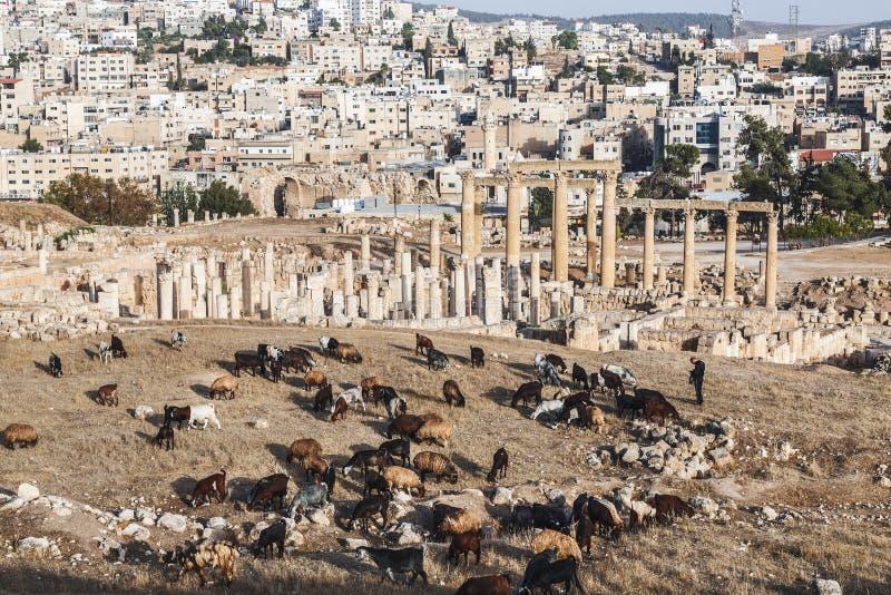 Widok rzymianin ruiny w Jordańskim mieście Jerash Gerasa dawność z stado caklami w przedpolu obraz royalty free