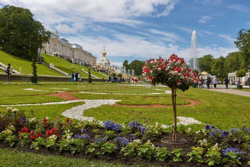 Widok sławny punkt zwrotny Peterhof pałac i swój ogródy blisko do miasta St Petersburg w Rosja podczas pogodnego letniego dnia, zdjęcia royalty free