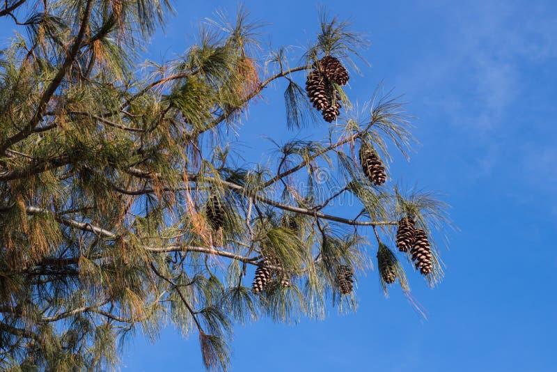 Widok sosna rozgałęzia się i konusuje przeciw niebieskiemu niebu zdjęcia stock