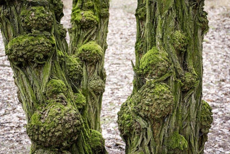 Widok starzy i gnarled bagażniki czarnej szarańczy drzewo fotografia royalty free