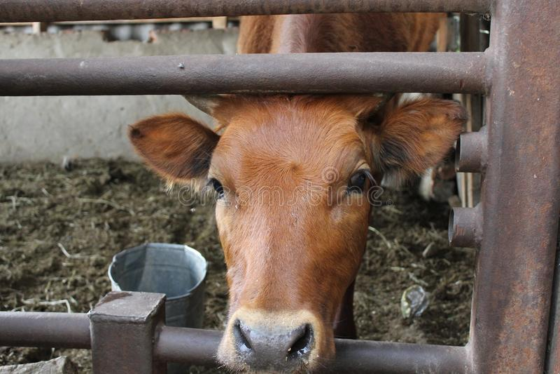 Widok twarzy krowa w uprawiać ziemię metalu pudełko 30773 fotografia royalty free