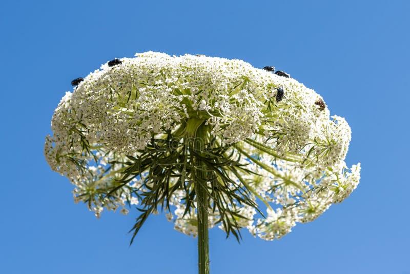 Widok wielka roślina na trzonie, składa się wiele małych białych kwiaty na których siedzą mali insekty zdjęcia royalty free