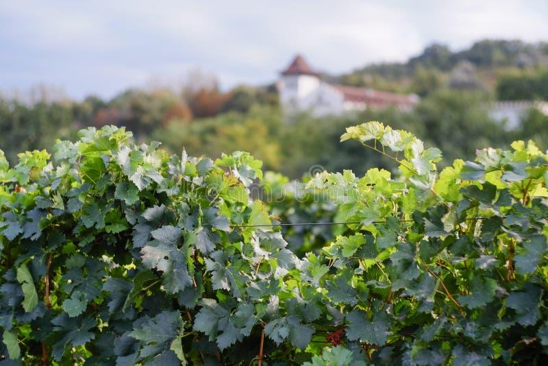 Widok winnicy rząd bez winogron Winogrona żniwa sezon w th obraz royalty free