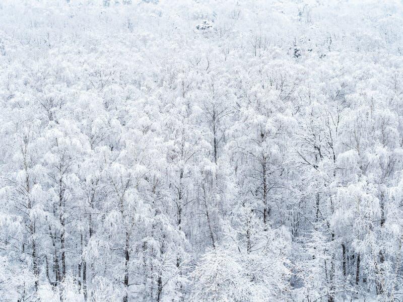 Widok z lotu ptaka śnieżysty brzoza gaj fotografia royalty free