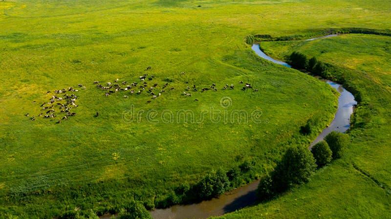 Widok z lotu ptaka z dronem krajobrazu letniego z rzeką, wzgórzami i lasami Krowy pasą się na łące zdjęcie stock