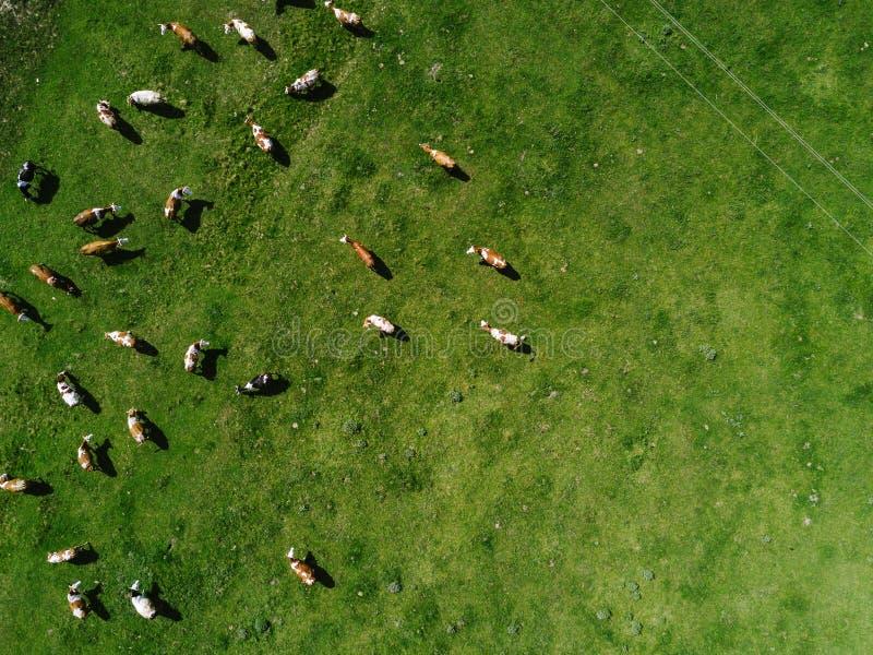 Widok z lotu ptaka krowy stada pasanie na paśniku obrazy royalty free