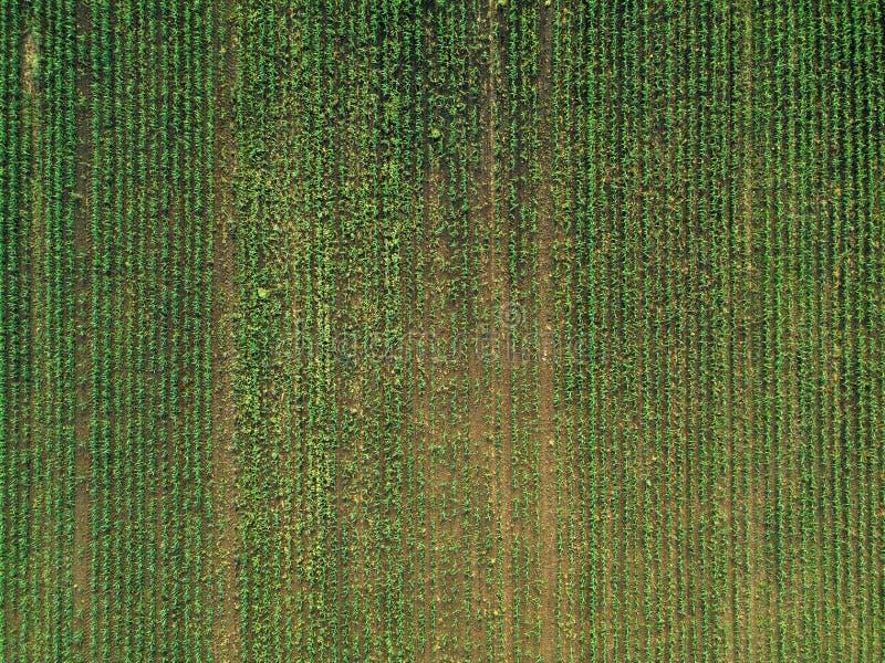 Widok z lotu ptaka kukurydzany uprawy pole z świrzepą obraz stock
