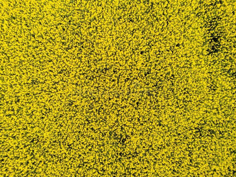 Widok z lotu ptaka kultywujący rapeseed pole od trutnia pov fotografia royalty free