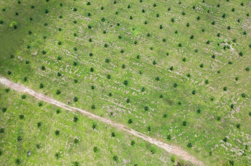 Widok z lotu ptaka młoda nafcianej palmy plantacja fotografia stock