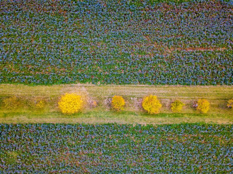 Widok z lotu ptaka nad Phacelia polami zdjęcia royalty free