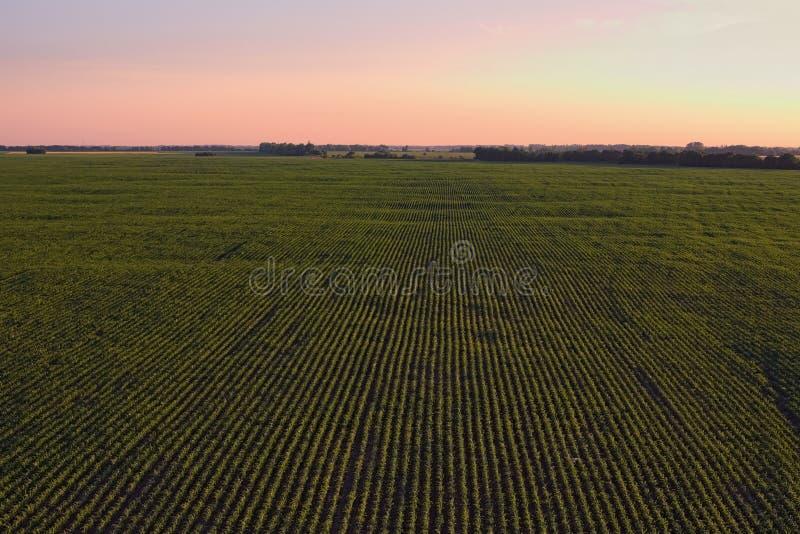 Widok z lotu ptaka nad rzędami rośliny przy rolniczymi polami podczas zmierzchu na pogodnym letnim dniu Kyiv region, Ukraina obraz stock