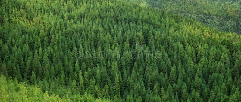 Widok z lotu ptaka ogromny zielony zdrowy świerkowy drzewny las, panoramy tekstura fotografia royalty free