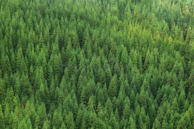 Widok z lotu ptaka ogromny zielony zdrowy sosnowy las, panoramy tekstura fotografia stock