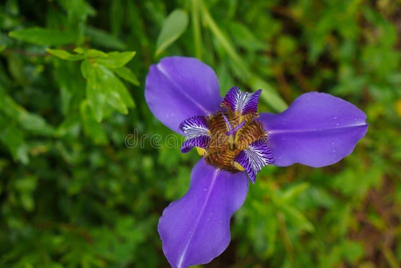 Widok Z Lotu Ptaka purpur irys fotografia royalty free