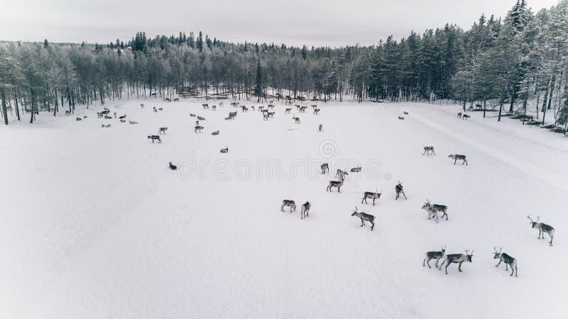 Widok z lotu ptaka reniferowy stado w zimie Lapland Finlandia zdjęcia stock