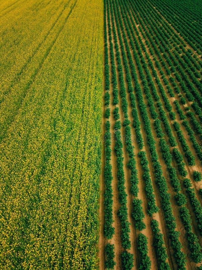Widok z lotu ptaka rzędy gruli i rapeseed pole Koloru żółtego i zieleni rolniczy pola w Finlandia obraz stock