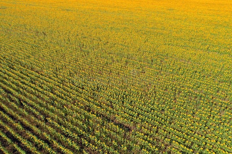 Widok z lotu ptaka słonecznikowy pole fotografia royalty free