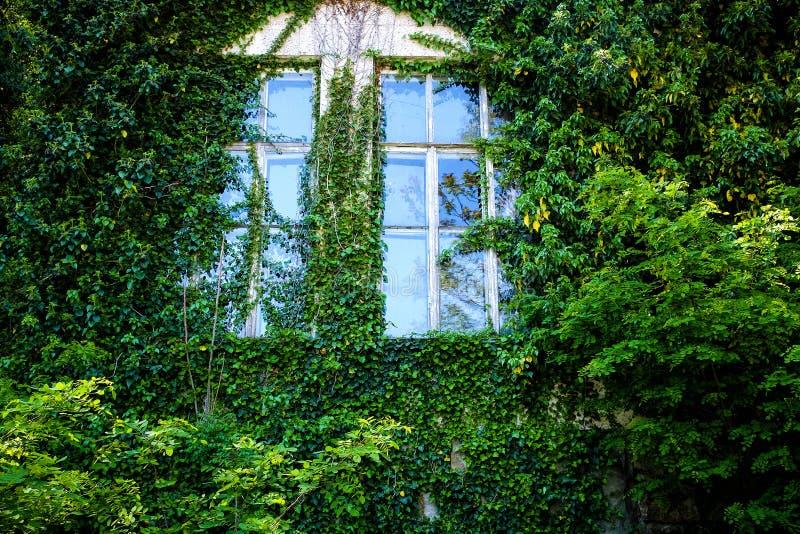 Widok zamknięty okno ściana zakrywająca z bluszczem i obraz royalty free