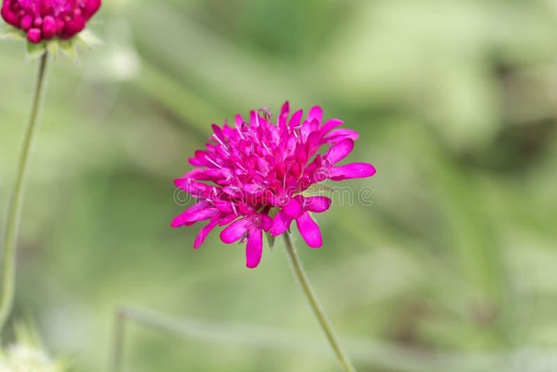 The widow flower Knautia macedonica. From Southeastern Europe royalty free stock photos