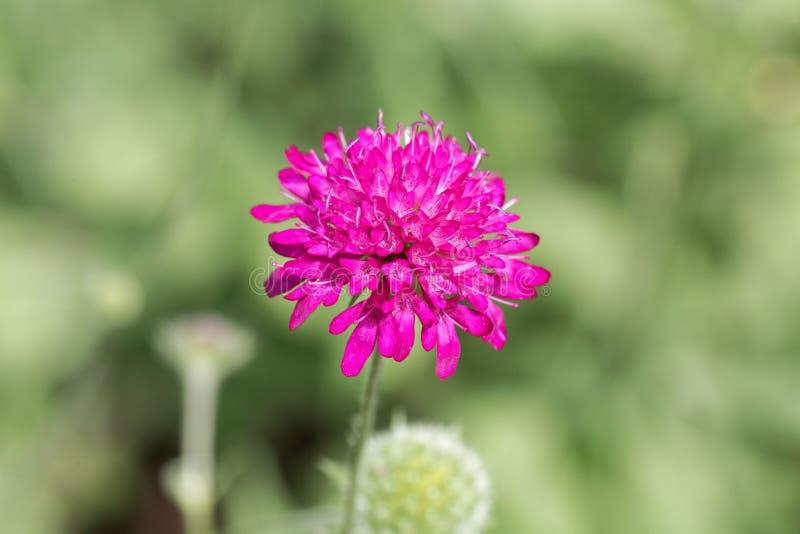 The widow flower Knautia macedonica. From Southeastern Europe royalty free stock photo