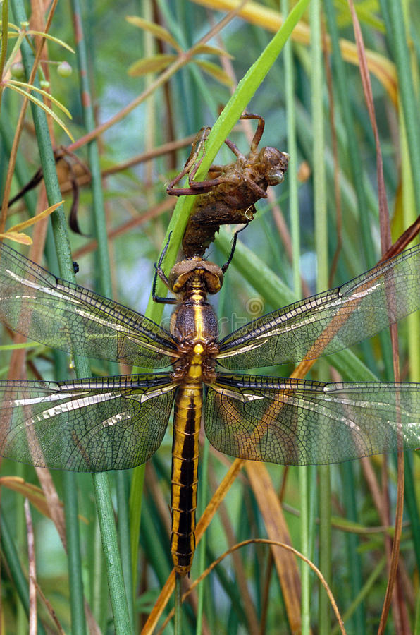 Widow Skimmer Dragonfly And Naiad Case Stock Photography