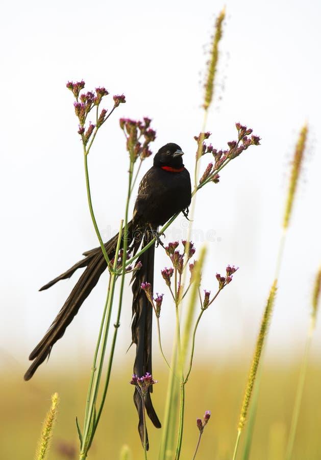 Widowbird Long-coupé la queue avec les fleurs pourpres photographie stock libre de droits