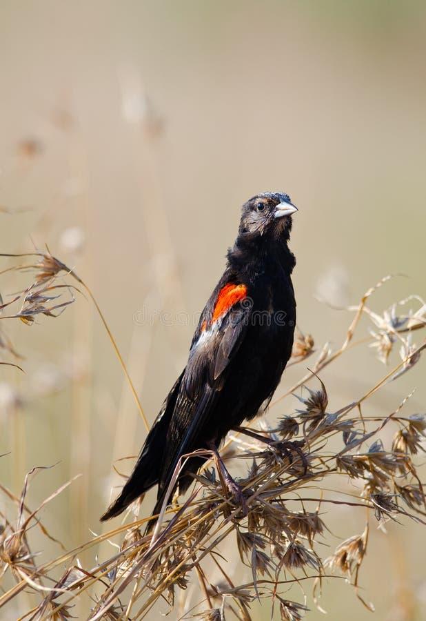Widowbird long-coupé la queue muant photographie stock
