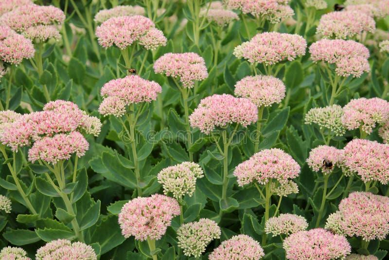 Widowiskowi stonecrop kwiaty, Hylotelephium spectabile lub Sedum spectabile lub zdjęcie royalty free