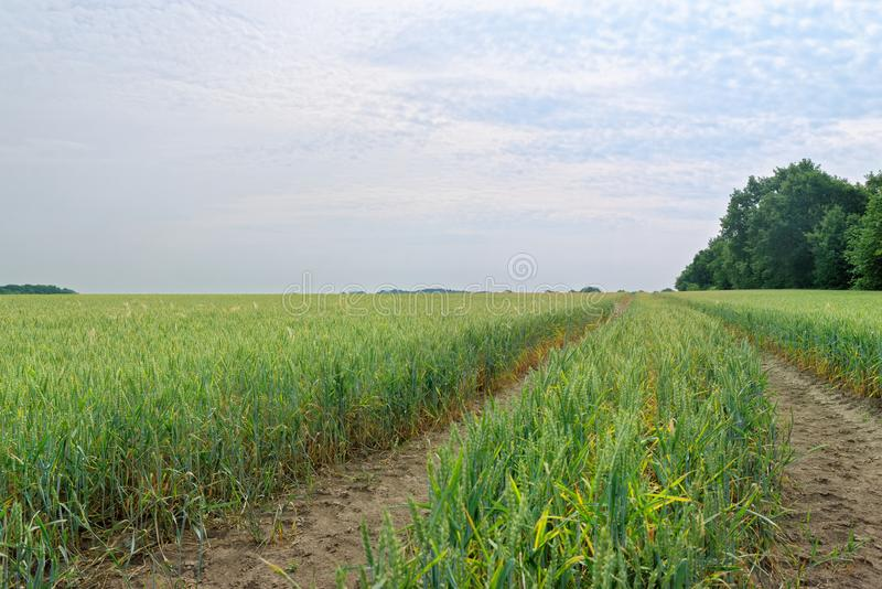 Tractor tracks in a field of green cereal plants against cloudy blue sky royalty free stock photo