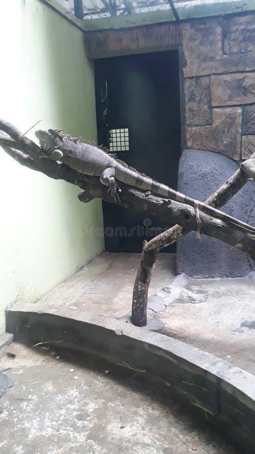 Widzii iguany przy zoo zdjęcie royalty free