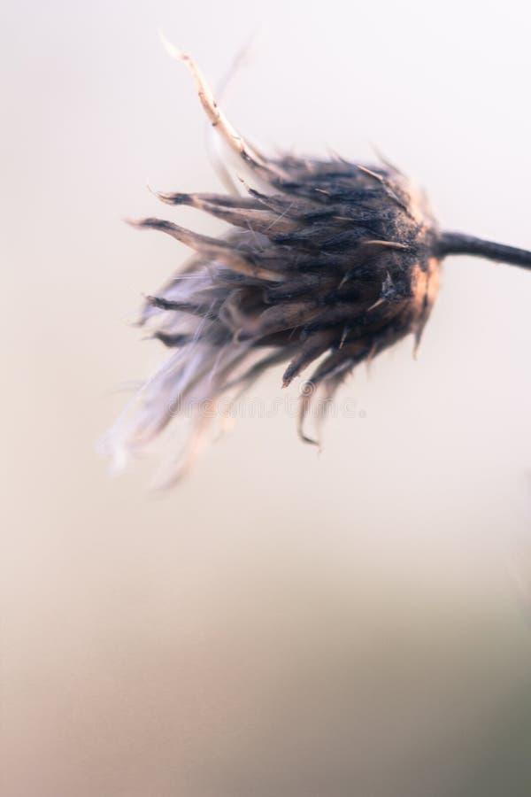 Wieśniak suszący kwiat zdjęcie royalty free