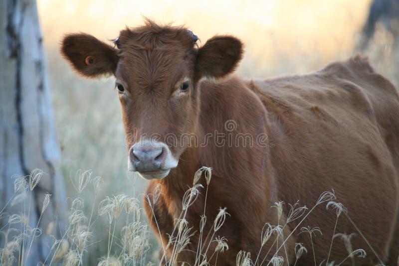 Wie jetzt Brown-Kuh stockfotos