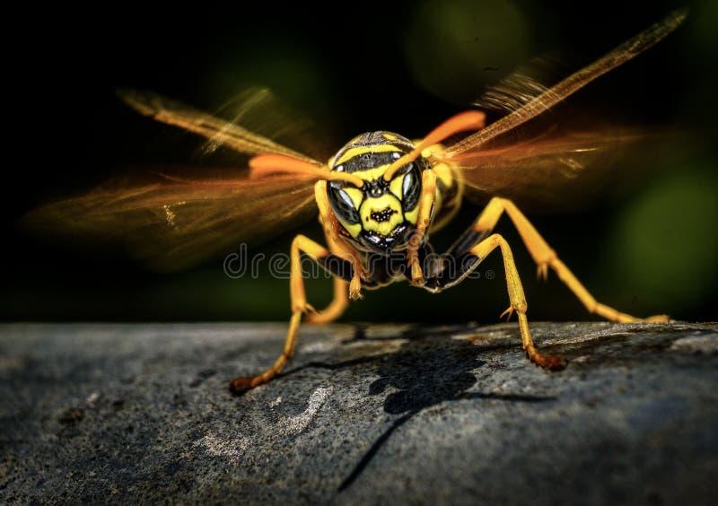 Wie man eine verärgerte Wespe beschmutzt? lizenzfreies stockbild