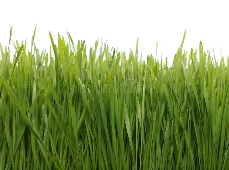 Grünes Weizenfeld stockfoto