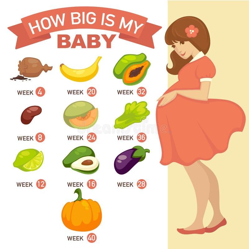 Wie mein Baby groß ist Schwangeres infographic lizenzfreie abbildung