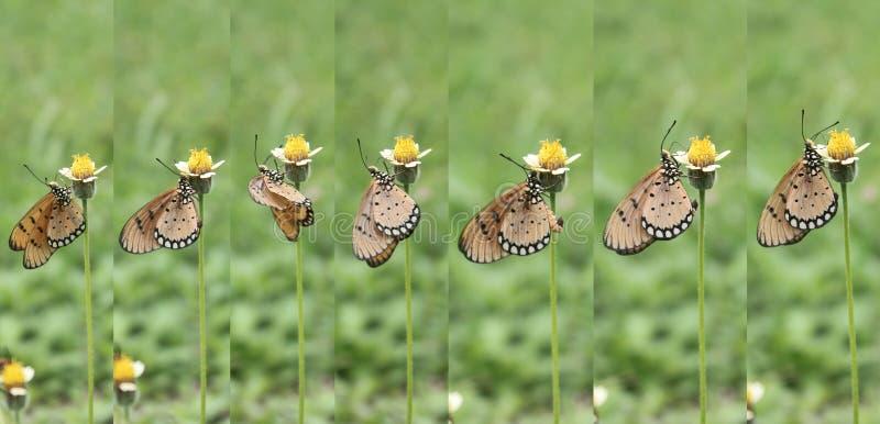 Wie Schmetterling den Nektar der Blume genießen stockfotos