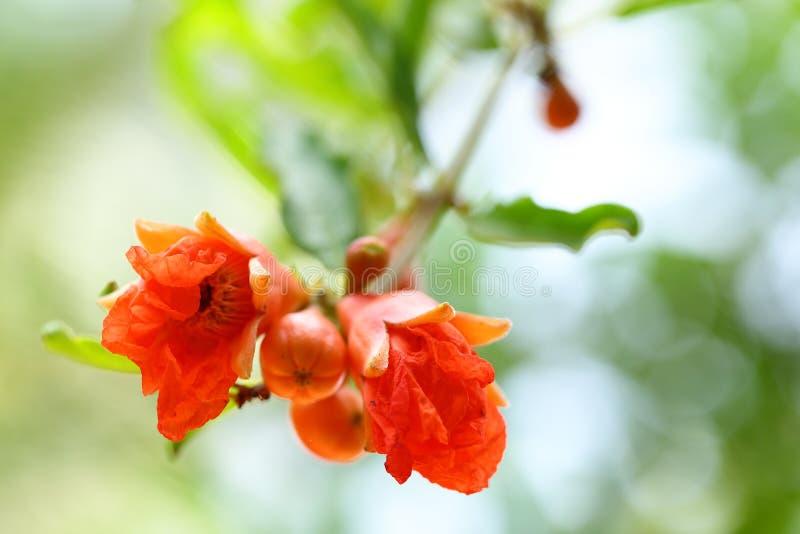 ?wie?y granatowa kwiatu p?czka okwitni?cie obrazy stock
