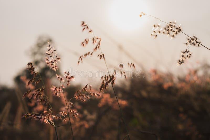 Wieczór światło słoneczne z suchej trawy kwiatami fotografia stock
