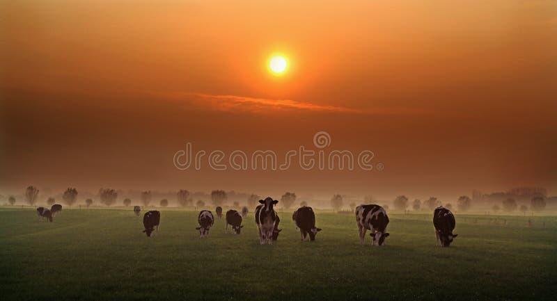 Wieczór krowy w Holandia zdjęcie royalty free