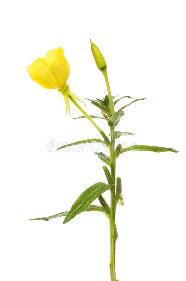 Wieczór pierwiosnku ulistnienie i kwiat obraz stock