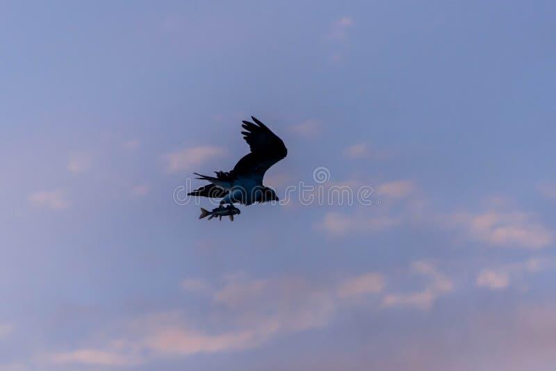 Wieczór zmierzchu sylwetka rybołów z świeżym rybim chwytem lata z powrotem swój gniazdeczko z pięknym coloured lata niebem obraz stock