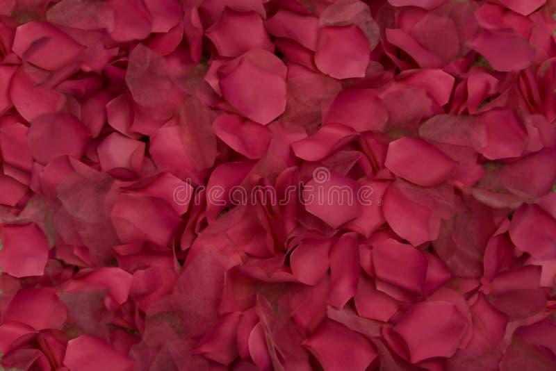 Wiecznie różani płatki mówją Ja kocha ciebie obraz royalty free