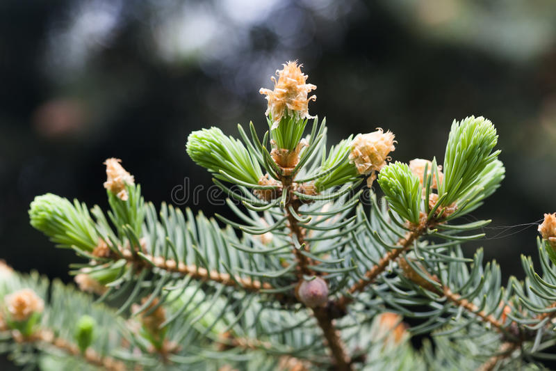 Wiecznozielona sosny gałąź z potomstwami strzela i świezi zieleni pączki, igły Wiosny sceny miękka ostrość fotografia stock