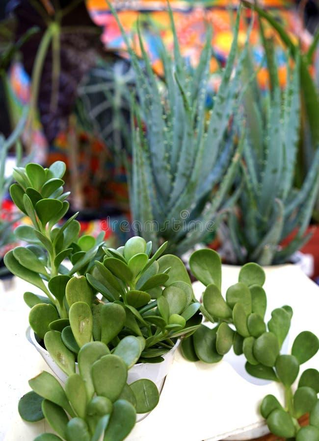 Download Wiecznozielone Chabet Rośliny Obraz Stock - Obraz złożonej z mozambik, chabet: 57673815