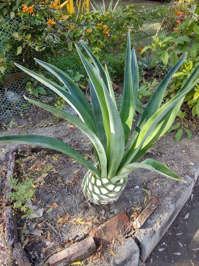 Wiecznozielonej rośliny sektor 59 Mohali zdjęcie stock