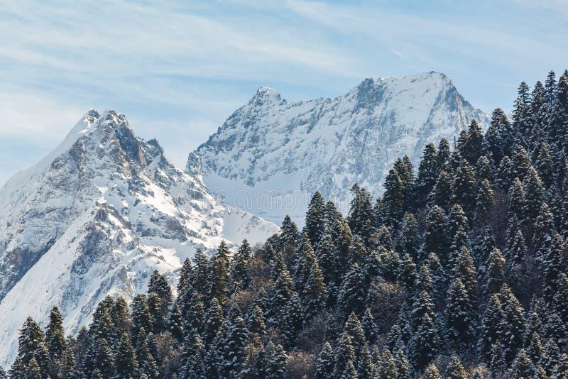 Wiecznozieloni iglaści lasy zakrywający z śniegiem przeciw tłu piękni szczyty Kaukaz góry na pogodnym obrazy stock